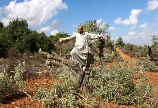 Qaryut olives zuma.jpg